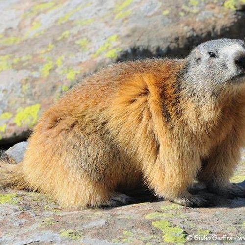 querays_hike_marmot